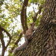 Squirrel on tree — Stok fotoğraf