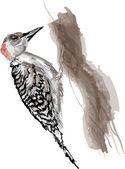 Red-bellied Woodpecker — Stock Vector