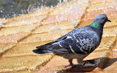 Pigeons like to bathe in the fountains — Stock Photo