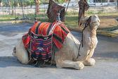 Camel in Israel — Stock Photo