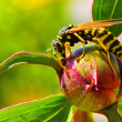 Bee on peony bud unblown — Stock Photo #22508551