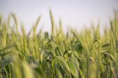 Wheat in Israel — Stock Photo