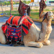 Bedouin camel — Stock Photo #25144339