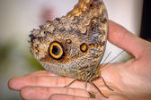 Beautiful butterfly sitting on the hand — Stock Photo