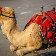 Bedouin camel — Stock Photo #34129765