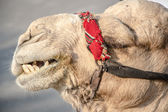 Bedouin camel in Israel near the Dead Sea — Stock Photo
