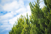 Fragment of coniferous trees against the sky with clouds — Stock Photo