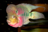 Pink cichlid — Stock Photo