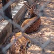 Deer in captivity — Stock Photo #39730123