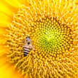 Close Up of Sunflower with bee — Stock Photo