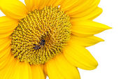 Close Up of Sunflower with bee isolate on white background — Stock Photo