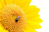 Close Up of Sunflower with bee isolate on white — Stock Photo