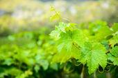Kiść winogron zielony liść. — Zdjęcie stockowe