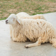White Woolly Sheep — Stock Photo