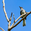 Magpie perching on a tree — Stock Photo