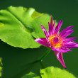 Close-up of colorful purple water lily — Stock Photo