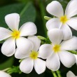 Stock Photo: Branch of tropical flowers frangipani
