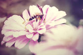 Vintage tone of Hover flies on pink Zinnia — Stock Photo