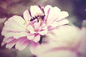 Vintage tonu hover üzerinde pembe zinnia uçar — Stok fotoğraf