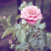 Vintage Roses on a bush in a garden — Stock Photo