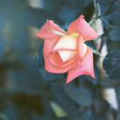 Vintage Roses on a bush in a garden — Foto de Stock