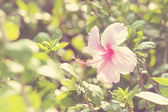 Vivid pink hibicus is blooming — Stock Photo