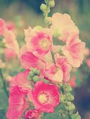 Pink hollyhock (Althaea rosea) blossoms vintage tone style — Stock Photo