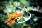 A close up of a Mexican Sunflower (vintage tone style) — Stock Photo