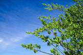 Mangrove tree Leaves against blue sky — Stock Photo