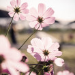 Stock Photo: Cosmos flowers (vintage tone)