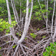 Stock Photo: Mangrove forest