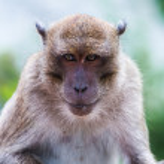 Portrait of Monkey — Stock Photo