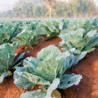 Green cabbages — Stock Photo #39941769