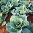 Green cabbages — Stock Photo #39941823