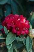 Rhododendron arboreum — Stock Photo