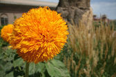 Wild marigold — Stock Photo