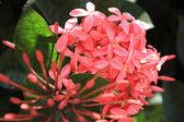 Pink ixora — Stock Photo