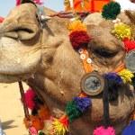 Постер, плакат: Camel in thar desert