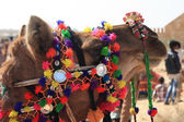Camel in thar desert — Stockfoto