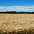 Wheat — Stock Photo #31599759