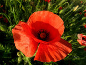 Poppies — Foto Stock