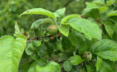 Small green apples — Stock Photo