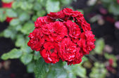 Bunch of the roses — Stock Photo