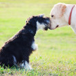 Miniature schnuzer and labrador bonding — Stockfoto