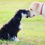Miniature schnuzer and labrador bonding — Stock Photo #17337009