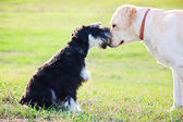 Miniature schnuzer and labrador bonding — Stock Photo