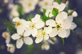 Cherry flowers in blossom — Stock Photo
