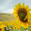 Ripe sunflower in the field — Stock Photo