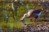 Goose drinking from the pond — Stock Photo