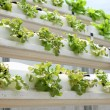 Hydroponic salad vegetable. - Stock Photo